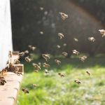 Swarming bees - essential oils for bee repellent