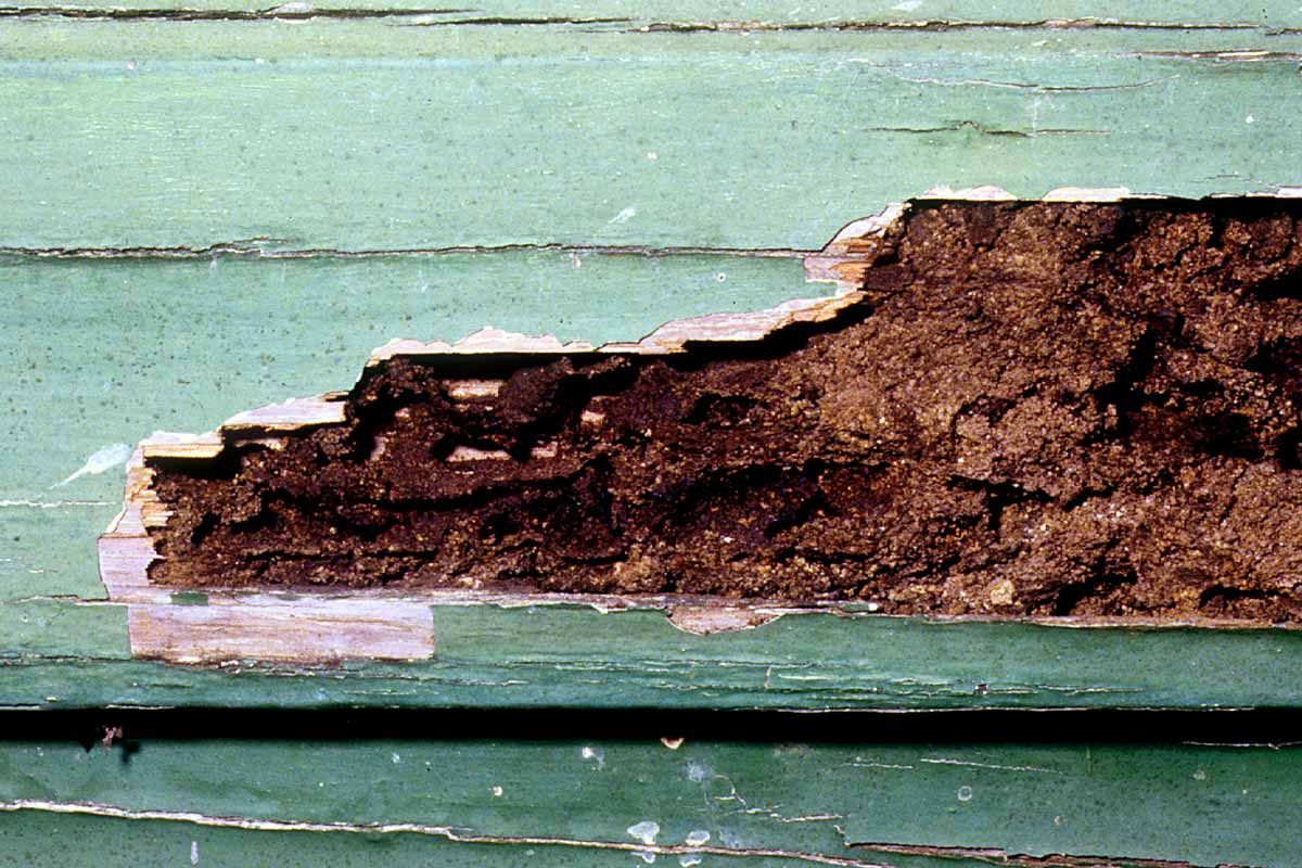Wood with termite damage - orange oil treatment